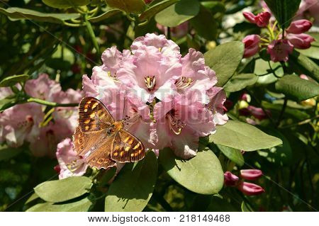 Rhododendron Christmas Cheer flowers with a Wall brown butterfly Latin name Lasiommata megera
