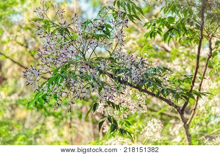 Flowering branch of persian lilac or melia azedarach on blurred background. Spring shot in Israel