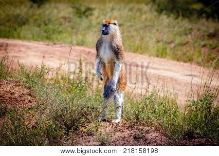 A curious standing patas monkey in the Murchison Falls national park in Uganda. Too bad this place, lake Albert, is endangered by oil drilling companies