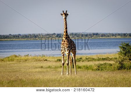 Beautiful curious Rothschild giraffe looking directly into the camera during a sunset safari in the Murchison nation park in Uganda.