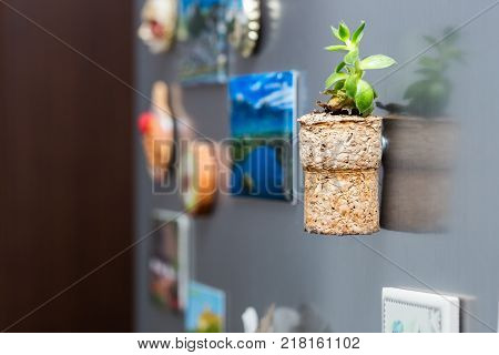 Sempervivum plant in cork magnet on the fridge