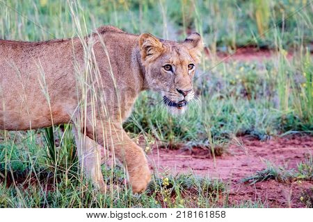 A curious female lion starting the hunt  at an early morning in Murchison Falls national park, Uganda in east Africa. Too bad this park and lake Albert is threatened by the oil industry.