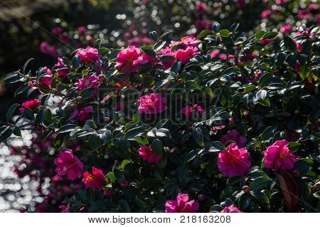Camellia flowers bloom on bushes along a river in Japan on a bright November Day. These bushes are common across japan along roadsides parks and rivers.