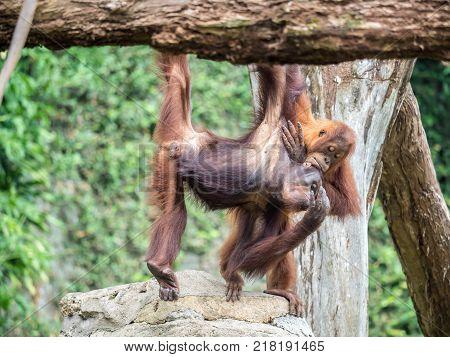 A pair of Bornean orangutan Pongo pygmaeus hang out among the trees.
