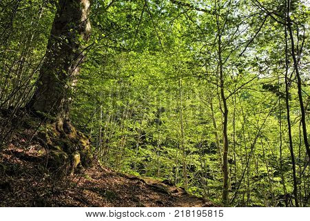 background of lush foliage of beech forest, Montenegro