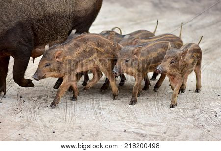 Wild boar family came into the city on the concrete road because there is nothing to eat in the forest the family wild boar.
