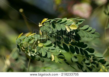 Close up leaf of Horse radish tree