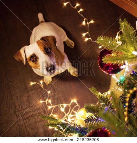 Dog near christmas tree. Pet looking up. Happy new year