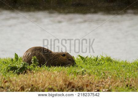 Closeup Shot Of Myocastor Coypu Nutria Eating Next To A Pond In Hula Israel On A Rainy Day