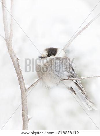 Gray Jay (Perisoreus canadensis) perched on branch in Algonquin Provincial Park