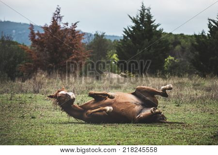 A brown horse rolls on the green grass with an autumn landscape background