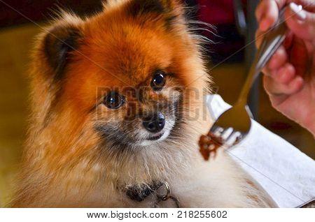 Pampered Pomeranian dog eating from a fork