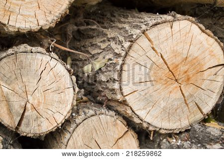 Felled tree trunks, the view on the cut of the ring.