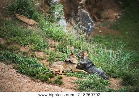 couple of Iberian wolves resting in their territory