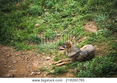 Iberian wolf resting in the ground of its territory