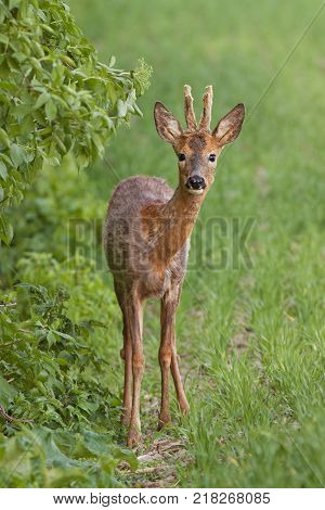 European roe deer buck, capreolus capreolus in spring. Wild deer changing fur with antlers in velvet.