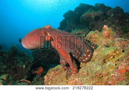 Reef Octopus underwater