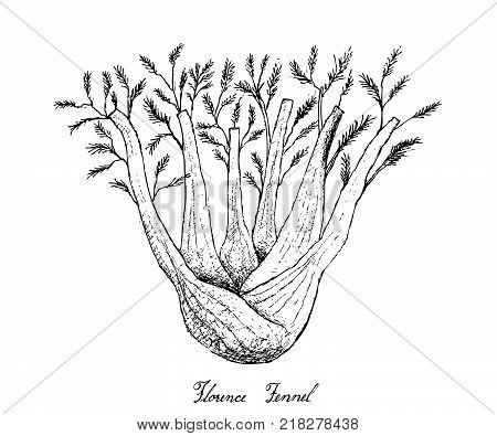 Bulb & Stem Vegetable, Illustration of Hand Drawn Sketch Fresh Fennel or Foeniculum Vulgare Bulb with Stem and Leaves Isolated on White Background