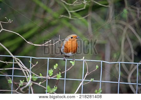 Robin (Erithacus rubecula) sitting on top of metal wire mesh fence with a blurred background of vegetation.
