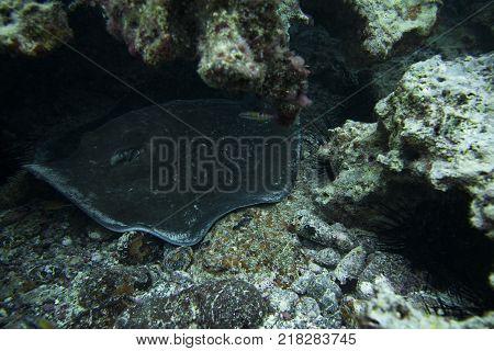 Round Stingray inside a den, Fuerteventura Canary Islands
