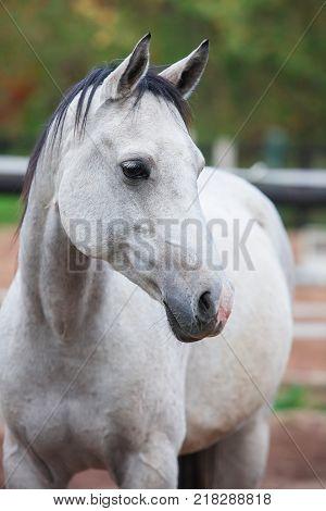 Portrait of purebred white horse in arena