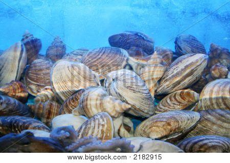 Live Sea Shells