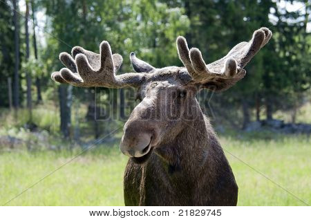 Close Up Of A Moose in Sweden