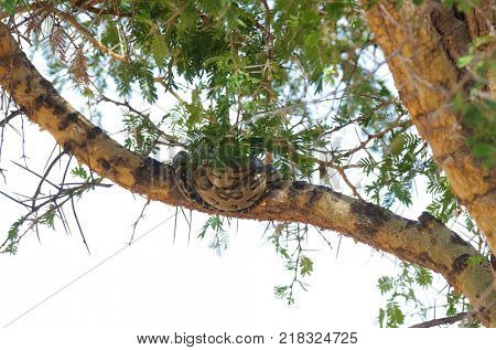 African rock Python (Python sebae) safe up a tree to avoid getting trampled during the migration