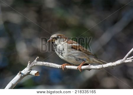 Beautiful little sparrow bird in natural background .Generally sparrows are small plump brown-grey birds with short tails and stubby powerful beaks