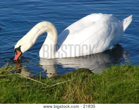 Swan At Lunch