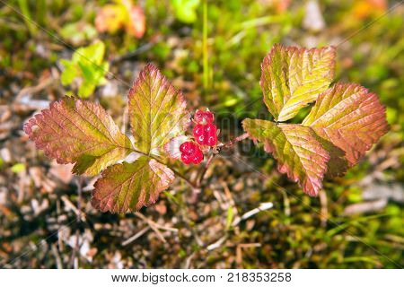 Berries and leaves of stone bramble rocky (lat. Rúbus saxátilis) is a perennial plant honey plant; species of the genus Rubus (Raspberry) of the Rose family