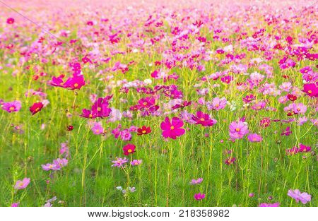 A field of cosmos with Mountain in the background. Beautiful cosmos flowers field at Jim Thompson farm at Nakornratchasima Thailand