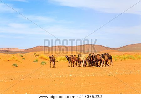 Flock of dromedary camel in desert during day against cloudy sky