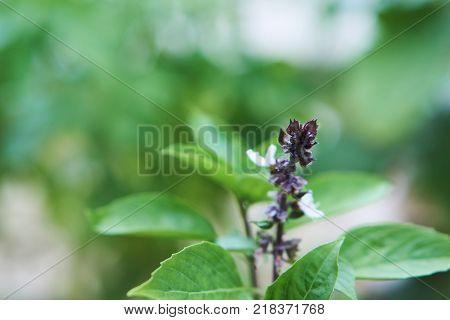 Lemon basil or hoary basil is a popular herb in Asia cuisine.
