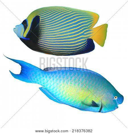 Reef fish isolated: Emperor Angelfish and Rusty Parrotfish on white background