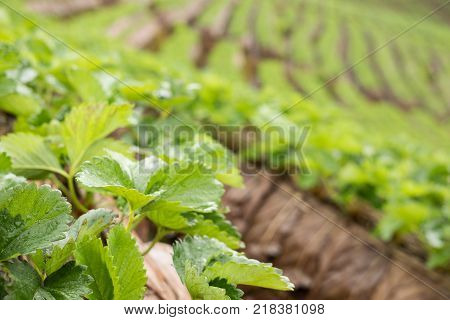 Strawberrry Plantation On Mountain. Strawberries Farm. Food & Agriculture Concept.