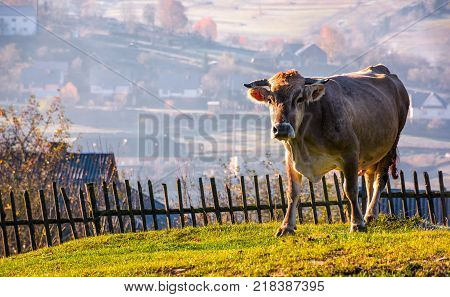 cow go uphill near the fence on hillside. lovely rural scenery with village in valley on the background
