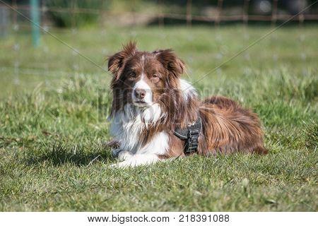 border collie sheepdog outdoor portrait of belgium