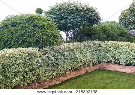 Lawn green fence and variation of coniferous shrubs in the garden