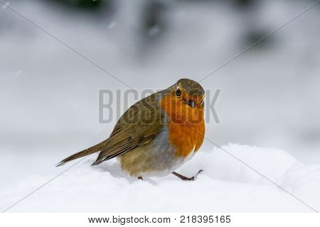Christmas Style Robin (Erithacus rubecula) perched in falling snow looking at camera United Kingdom