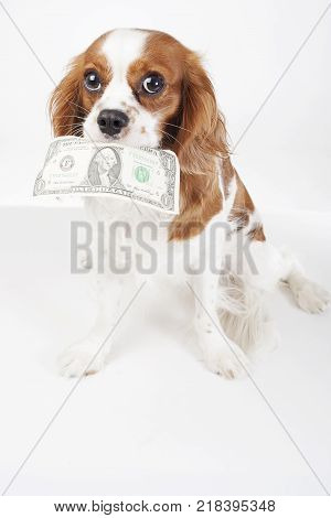 Dollar bill illustration. Dog with dollar bill illustrate animal costs. Spaniel dog with money. Pure bred cavalier king charles spaniel trained dog love to work. Bill. poster