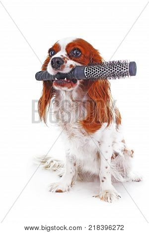 Dog with comb. Cavalier king charles spaniel dog photo. Beautiful cute cavalier puppy dog on isolated white studio background. Trained pet photos for every concept. Cute.