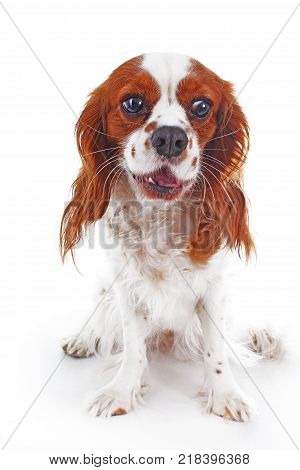 Loud dog. Cute dog yelp yal bark.. Cute barking dog photo. Cute