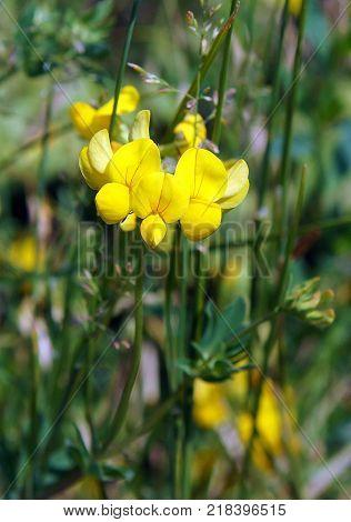 Blooming Yellow Lucerne Sickle Alfalfa in a field (Medicago falcata)