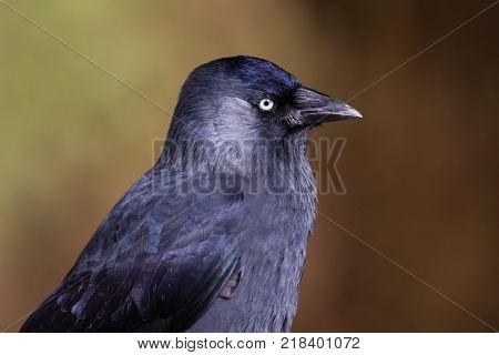 Jackdaw (Corvus monedula) portrait of the head Gloucestershire UK