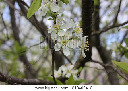 White bloom of cherry in spring. Cherry tree in white blossom. Tender white flowers of cherry tree.