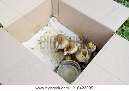 Ducklings of a musky duck. Ducklings of a musky duck in the shelter with hay on a floor and a box for a lodging for the night.