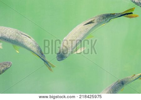 Piraputanga Fishes Swimming On The Water Of Formoso River On Bonito Ms, Brazil.