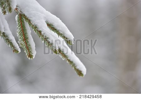 Beautiful winter tree. Close up details on pine needles brunch covered with snow at cold winter season.