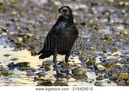 A carrion crow on a tidal mud flat